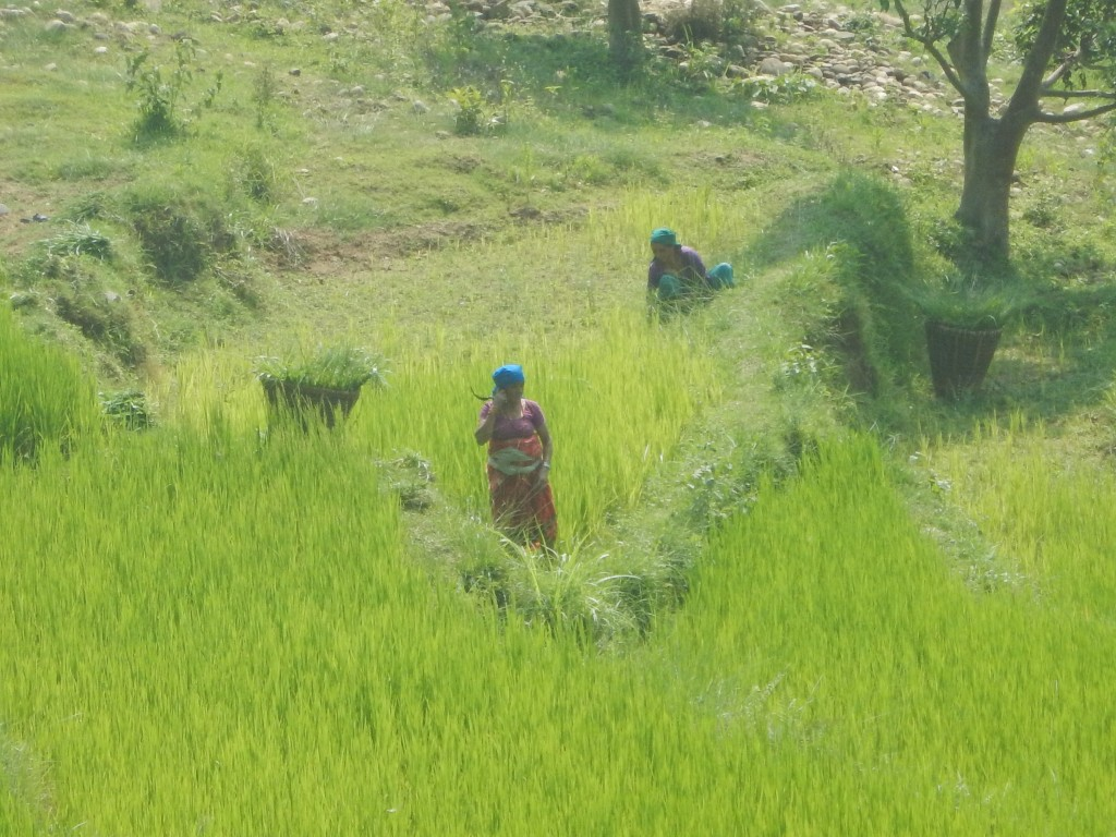 Rice_field_in_dhading